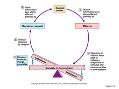 Control mechanisms of the body contain at least 3 elements that work together.