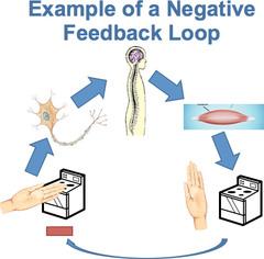 Negative feedback mechanisms